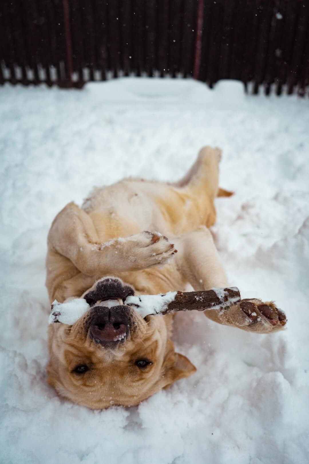 Prepare Your Dog For Winter - Joyful Dogs of Michigan